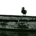 Duck on board by constantin jurcut