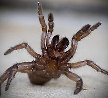 Trapdoor Spider by wildrider58