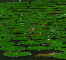 Bird Walking on Lily Pads in the Rain by Christian Eccleston