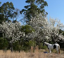The Old Piebald & the Old Pear Trees - Warrens Lane by louisegreen