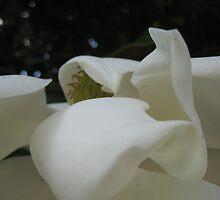magnolia petals in June heat by Laurkat