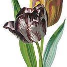 Tulip Vector on White Background by taiche