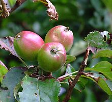 Bunch of crab apples by mikeloughlin