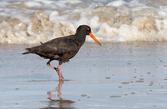 Sooty Oystercatcher ~ The Beachcomber by Robert Elliott