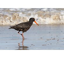 Sooty Oystercatcher ~ The Beachcomber Photographic Print