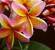 Summer Frangipanis by Raphaela  Sampaio
