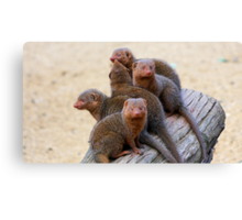 Mongooses Canvas Print