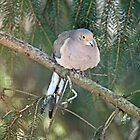Mourning Dove - Zenaida macroura by MotherNature