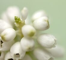 Muscari ~ White Grape  - JUSTART ©  by JUSTART