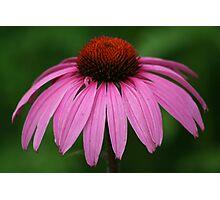 Purple Cone Flower Photographic Print