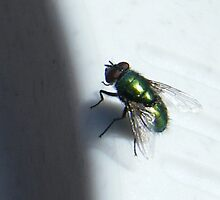 Iridescent Fly by pat oubridge