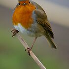 Angry Robin by David O'Riordan
