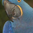 Hyacinth Macaw by Sarah Grace
