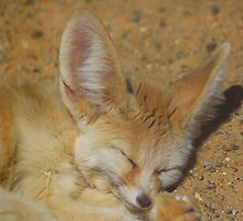 Fennec fox......  by jdmphotography
