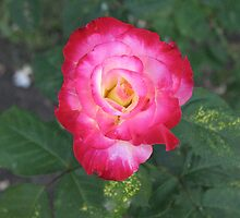 Rose by Donna Grayson