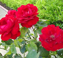 Red Roses by Donna Grayson