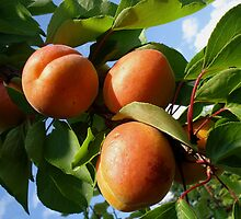 Apricots by Gregory Ewanowich