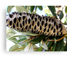 Old Man Banksia  Canvas Print