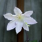 Clematis  by davesphotographics