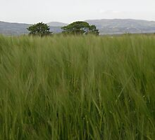 Whispering Wheatfield  Killnappy County Derry  by mikequigley
