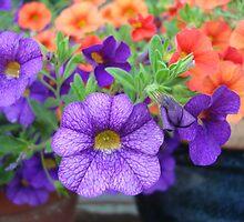 Pretty petunias by patsyspics