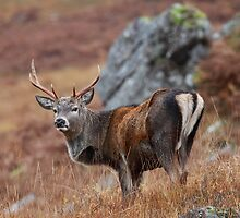 Red Deer Stag. by John Cameron