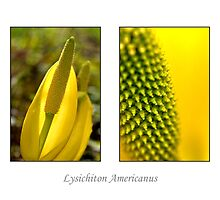 Lysichiton Americanus by Tom Vaughan