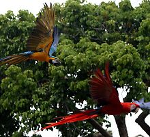 Macaws in Flight by DJ Florek