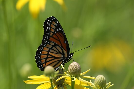 Butterfly and Blooms..2 by Gregg Williams