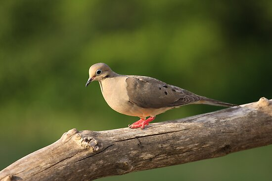 Mourning Dove by Gregg Williams