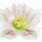 Hellebore 'Double Queen' by Jacky Parker