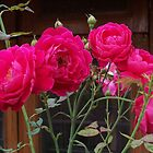 red roses by gopalshroti