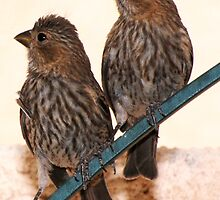Two Female House Finches by kramerlsv