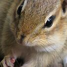 Chipmunk; Up Close & Personal by Danielle Davenport