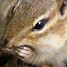 Chipmunk Up Close... by Danielle Davenport