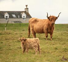 Highland cow and her calf on a Scottish croft by ljm000