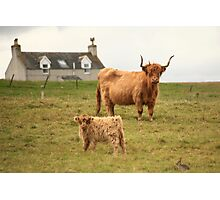 Highland cow and calf Scotland Photographic Print