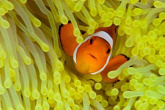 Anemonefish IV by LeanderWiseman