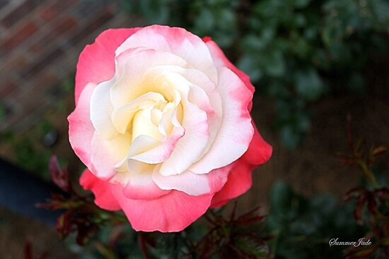 A Rose That Asks ~ What Color Am I? by SummerJade