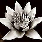 Water Lily  by Marloag