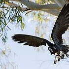 Carnaby's Cockatoo flying out of a Gum tree. by Sandra Chung
