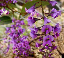 Hardenbergia by Northcote Community  Gardens