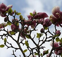 Magnolia Tree by Catherine Tranter
