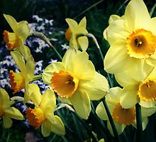 The Daffodils by David Mapletoft