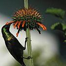 Bronze sunbird by Paulo van Breugel