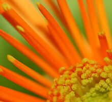 Orange Flower Power by Teresa Zieba