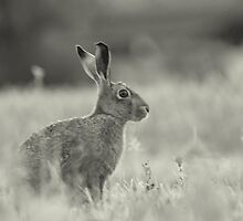 Black & White Sitting Hare by James Stevens