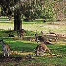 Kangaroos galore by georgieboy98