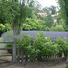 lavenda by annierose