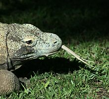 Komodo Dragon by Dan Bradford